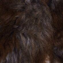 Kapucnis tarka szőrmemellnéy (2-3 év)